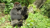 Western lowland gorilla chewing woody stem in forest