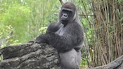 Western lowland gorilla chewing hanging on rock in bamboo forest