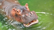 A hippo submerged in the water up to its mouth