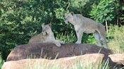 2 female African lions on rock among lush foliage