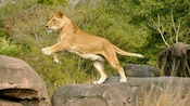 African lioness jumping from one boulder to another