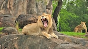 Male African lion sitting on rock, baring teeth while yawning