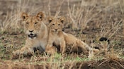 African lioness with lion cub