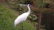 Whooping crane standing near stream