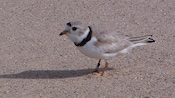 Piping plover on sandy beach