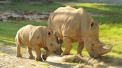 White rhinoceros and baby calf walking together