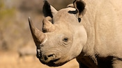 Black rhinoceros with 2 horns and hooked lip