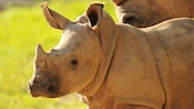 White rhinoceros with small horns and wide flat mouth