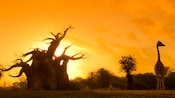 A large, barren tree and a giraffe in silhouette, against a sunset