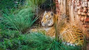 A tiger lounges in high grass next to a wall