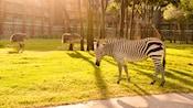 A zebra, 2 emus and 2 giraffes grazing on a savanna outside Disney's Animal Kingdom Lodge