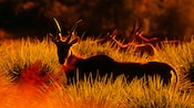 2 impalas in high grass