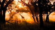 2 giraffes in a grove of savanna trees with sunlight peeking through