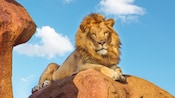 A stately lion reclines on a boulder as seen on Kilimanjaro Safaris