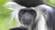 White Colobus Monkey calmly sitting in the midst of a lush tropical forest