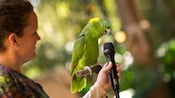 A trainer holds a microphone in front of a perched yellow-naped Amazon parrot