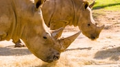 Close-up of 2 rhinos grazing on dried grass