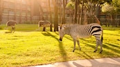 A zebra, 2 emus and 2 giraffes grazing on a savanna outside Disney's Animal Kingdom Lodge