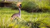 A crested African crane amidst wild grass on the savanna