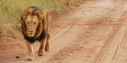 A lion walks along a dirt road