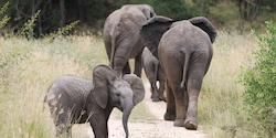 Two adult and 2 young elephants walk down a dusty path