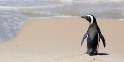A penguin waddles on a sandy beach near the ocean