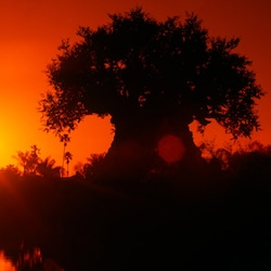 The sun setting in a glowing orange sky above The Tree of Life at Disney's Animal Kingdom theme park