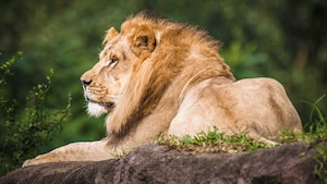 Un lion africain se repose sur un rocher herbeux lors d'un safari au parc Disney's Animal Kingdom