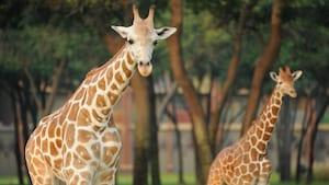 Two giraffes roaming near Disney's Animal Kingdom Lodge
