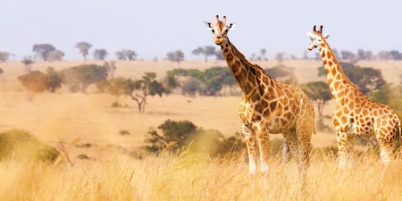 Two giraffes stand in the grass of the South African plains