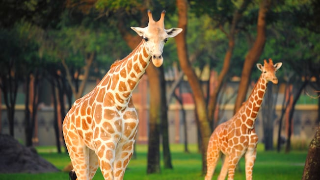 2 girafas andam entre as árvores da savana no Disney's Animal Kingdom Lodge