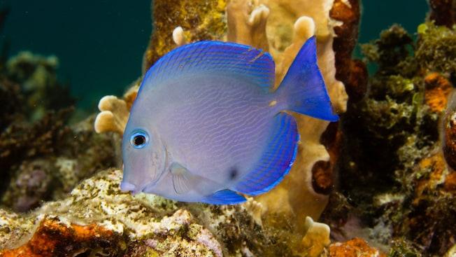 Um peixe tropical colorido nada entre rochas no fundo do mar
