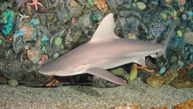 Un tiburón marrón nadando cerca del fondo del arrecife de coral