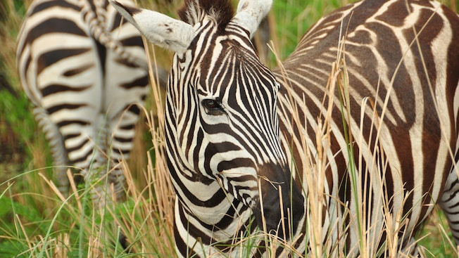 Duas zebras passeiam por grama alta no Disney's Animal Kingdom Park