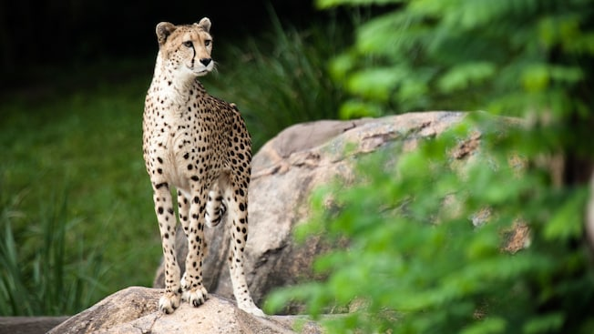 A cheetah poised on a boulder in Safi River Valley at Animal Kingdom theme park