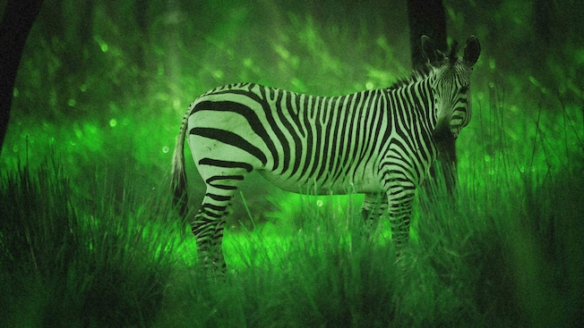 A zebra illuminated by night vision goggles during Disney's Animal Kingdom Night Safari excusion