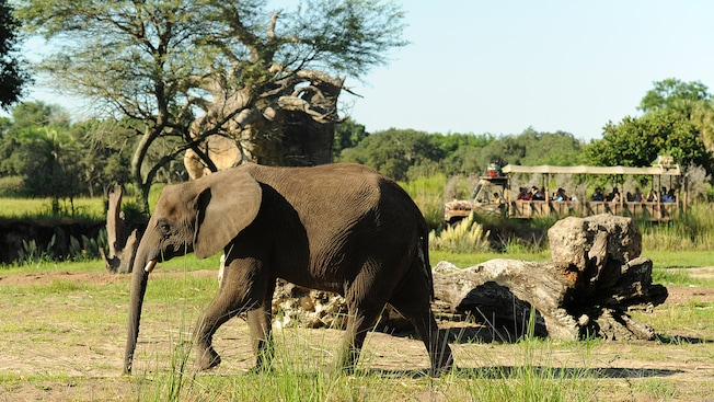 An elephant marches along beneath the brightness of the sun during a Backstage Safari