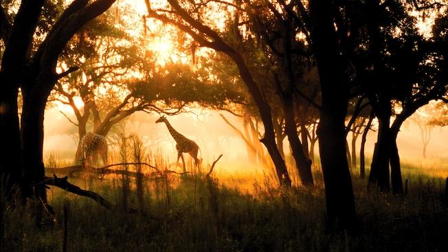Una jirafa se pasea por una sabana iluminada por el sol, mientras que otras pastan cerca de ella.