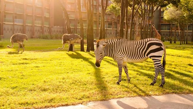 Una cebra posa para una fotografía, mientras una jirafa y 2avestruces recorren la sabana en segundo plano.