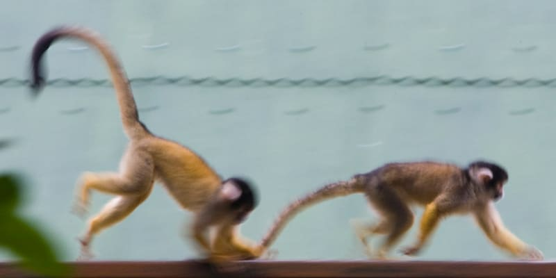 2 monkeys walk one after another on a wooden rail, with the follower pulling the tail of the leader