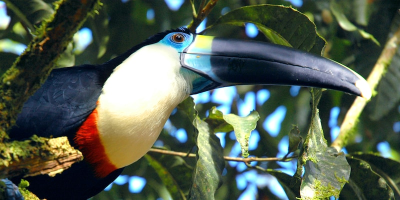 A toucan is perched in a tree