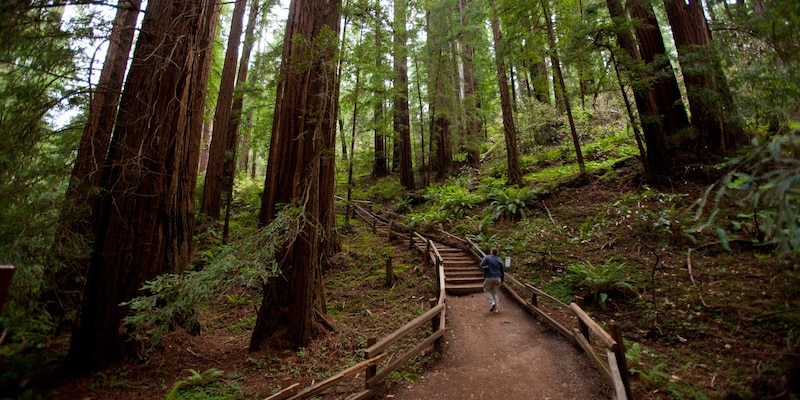 A man walks up a path in the woods, surrounded by redwoods