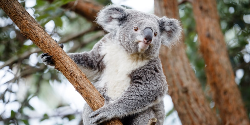 A koala bear in a tree